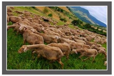 Photo troupeau de brebis